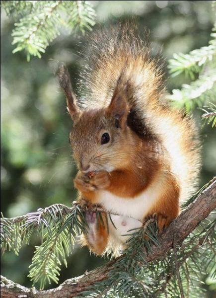 L'écureuil hiberne-t-il ?
