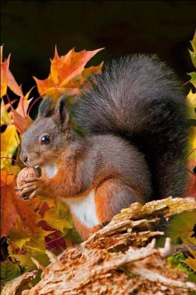 L'écureuil stocke sa nourriture à l'automne :