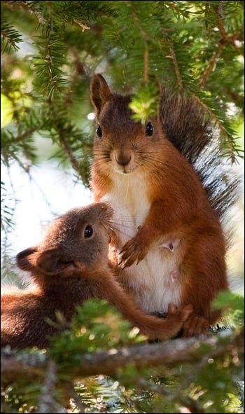 Dans quel pays l'écureuil a-t-il disparu ?