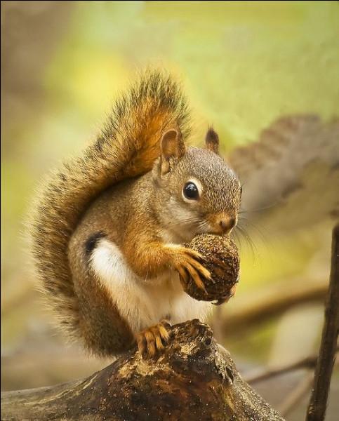 Quel est l'autre nom de l'écureuil roux ?