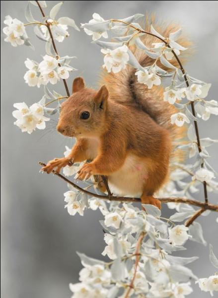 De quoi se nourrit essentiellement l'écureuil ?
