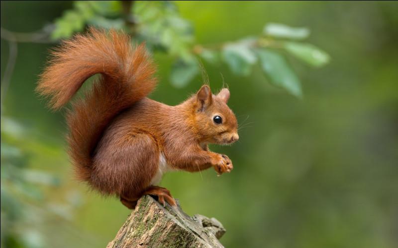 L'écureuil est :