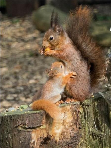 Combien une maman écureuil peut-elle avoir de petits, environ, dans une portée ?