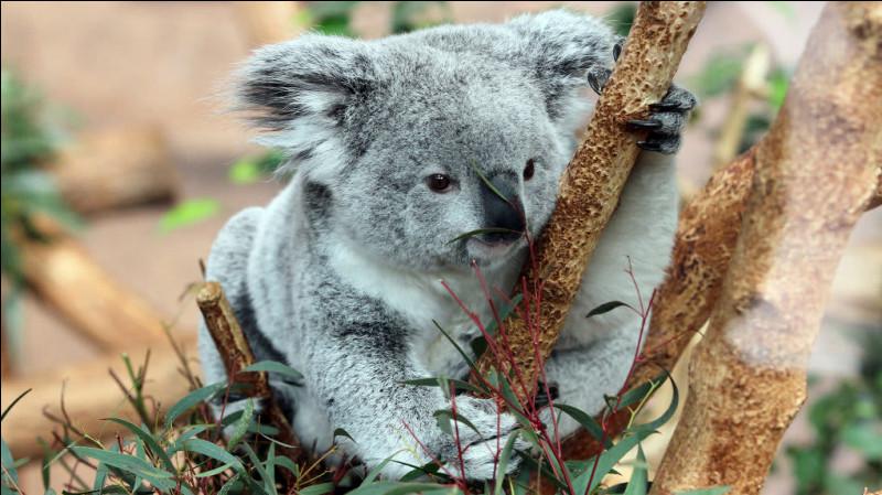 Les koalas d'Australie ont vu diminuer leur habitat naturel de..