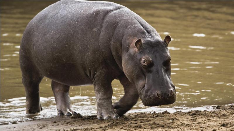 Quelle est la vitesse maximale d'un hippopotame sur le sol ?
