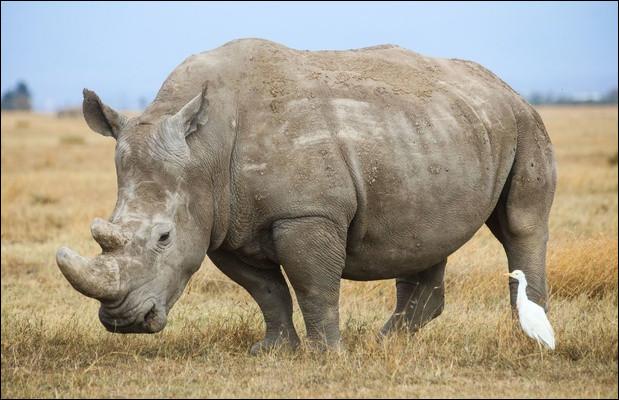 En Afrique, à l'état sauvage il reste..