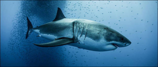 Les attaques de requins provoquent...