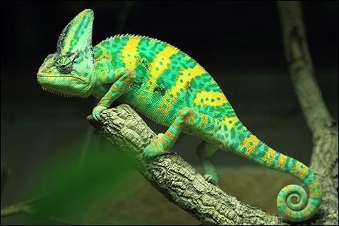 Le caméléon change de couleur pour..