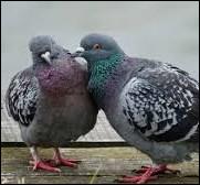 Le pigeon est plus fidèle que l'homme !