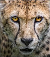 Les griffes du guépard ne sont pas rétractiles !