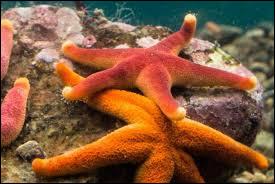 Les étoiles de mer n'ont pas de cerveau !