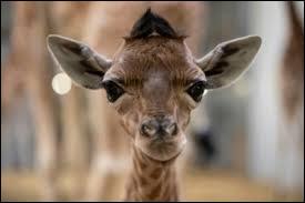 Les girafes n'ont pas de cordes vocales !