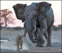 Les éléphants ont peur des souris !
