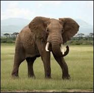 L'éléphant ne sait pas sauter !