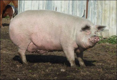 Quel est le poids d'un cochon adulte ?