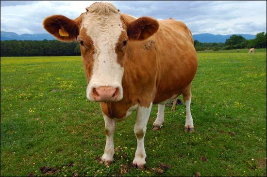 Combien de kg de foin une vache mange-t-elle par jour ?