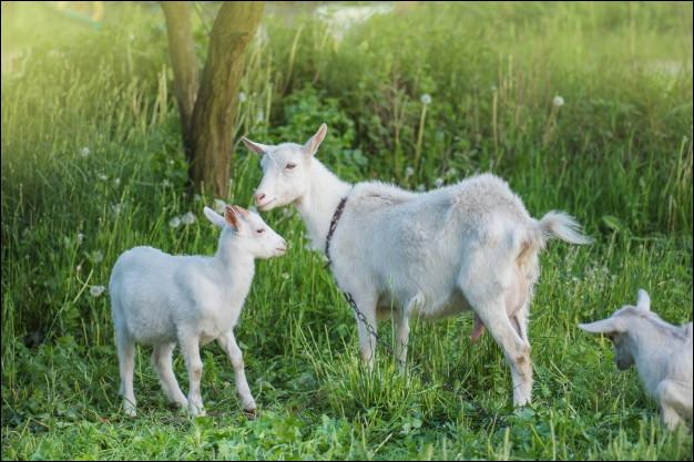 Combien de chevreaux une chèvre a-t-elle par an ?