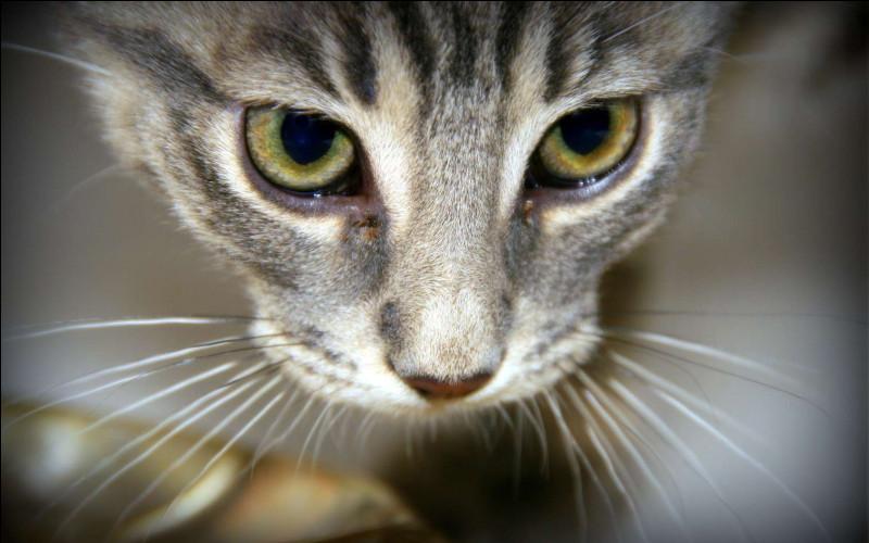 Grâce à quoi les chats retombent-ils sur leurs pattes ?