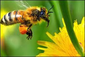 Combien de jours vit une abeille femelle ?