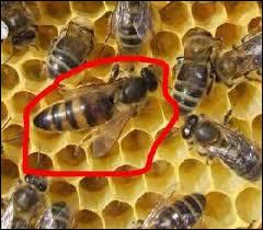 Quel est le rôle de la reine dans la ruche ?