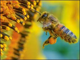 Comment les abeilles ramènent-elles le pollen à la ruche ?