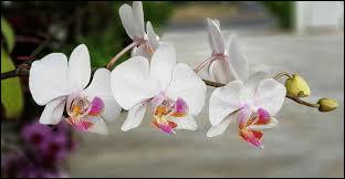 Que faut-il aux orchidées pour qu'elles soient épanouies ?