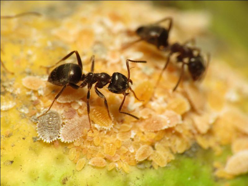 Quelle est la durée de vie d'une fourmi noire ?
