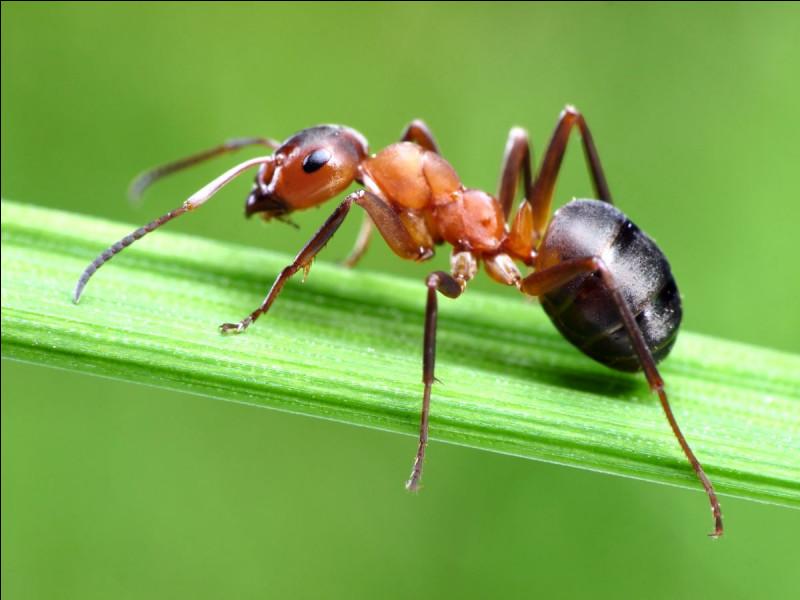 Est-ce que la fourmi possède un cœur ?