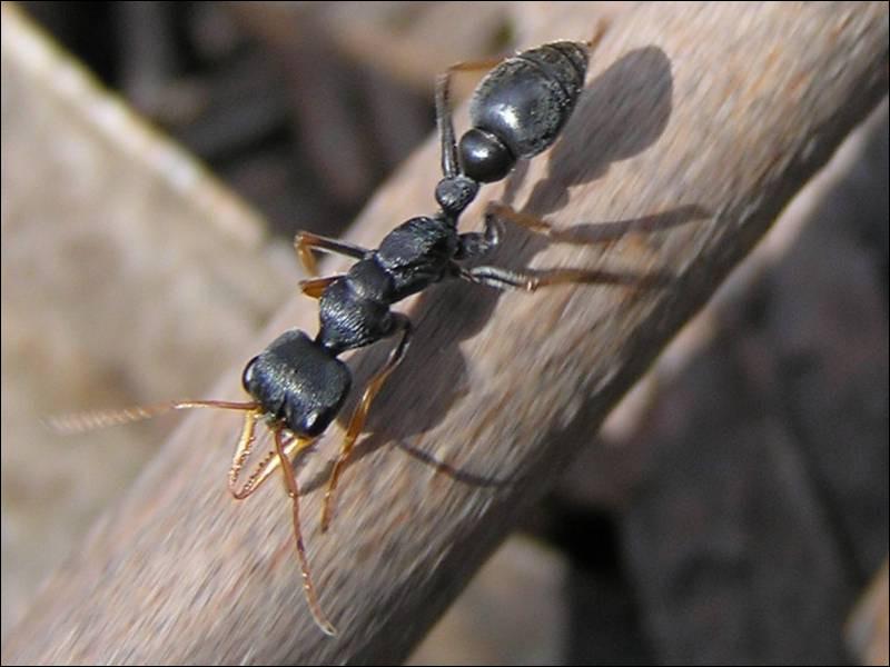 La fourmi en photo est désormais la plus dangereuse, où peut-on la trouver ?