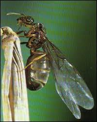 Quel est le rôle des fourmis volantes ?