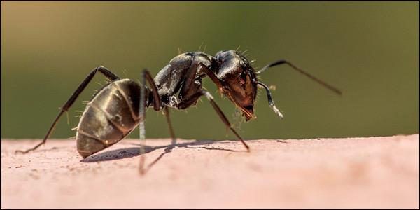 Comment s'appelle l'animal qui ne mange que les fourmis ?