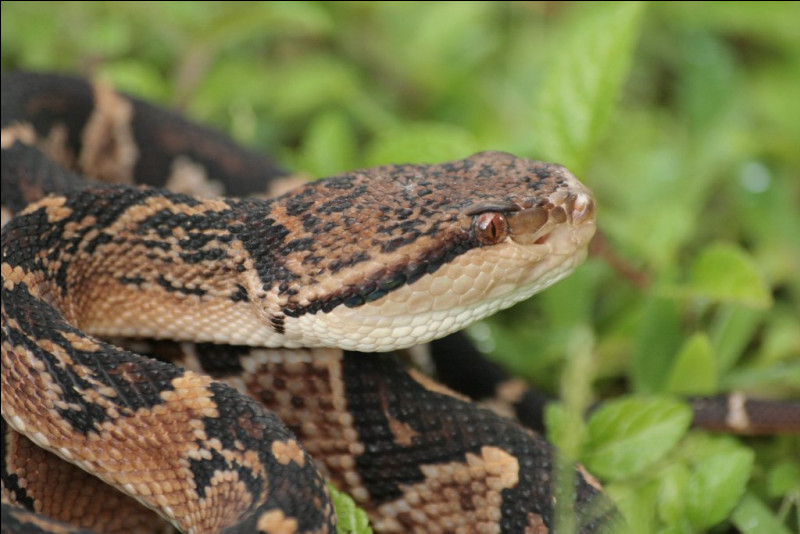 C'est l'un des serpents venimeux les plus dangereux de Guyane et d'Amazonie !