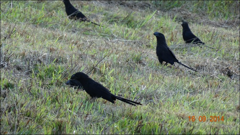 Ils sont noirs comme la nuit, c'est la raison pour laquelle on les appelle populairement ...