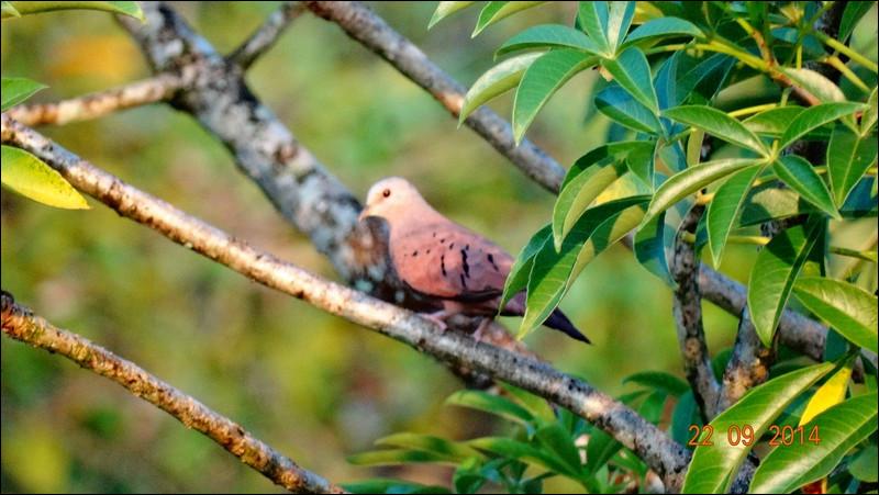 Petit oiseau de la taille d'une grive, il appartient pourtant bien à l'ordre des colombidés !