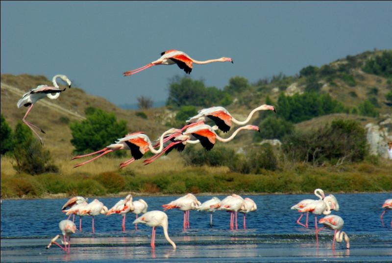 Quel est cet étang lagunaire, rendez-vous des flamants roses, situé au bord de la mer Méditerranée, exclusivement dans le département de l'Aude ?