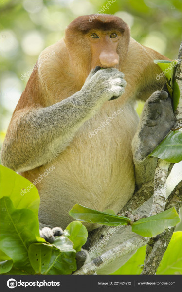 Le nasique, grand singe de Bornéo, a...