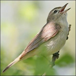 S'il est mélodieux, ce passereau appartenant à la famille des Vireonidae vit au Québec.