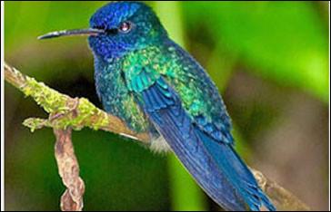 Laquelle de ces espèces de colibri est endémique de Martinique ?
