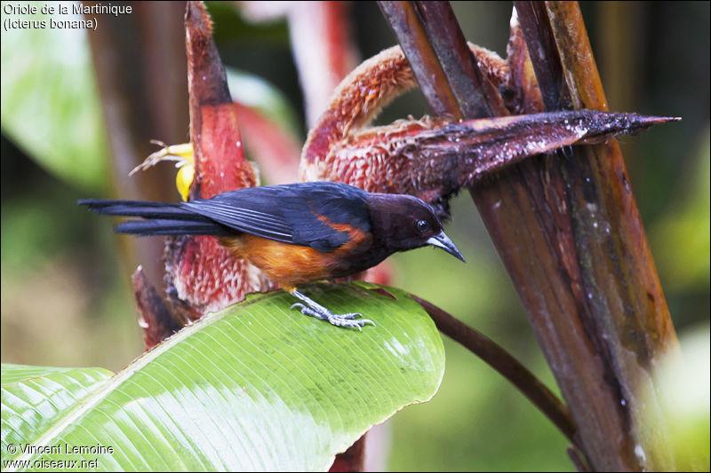 Je suis un oiseau endémique de Martinique, qui suis-je ?