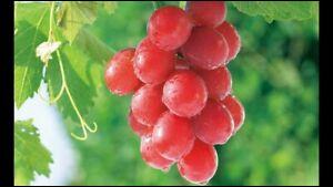 10 000 euros la grappe de raisins ! C'est le prix exorbitant payé par un Japonais pour acquérir une grappe de 700 g de raisins Ruby Roman, à la taille de balles de ping-pong.Mais savez-vous quel est le plus grand producteur de raisins en Europe ?