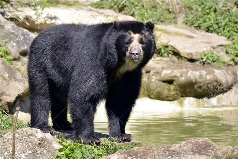 À quelle vitesse court un ours à lunettes ?