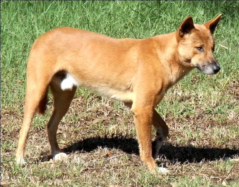 Combien de kg pèse un dingo ?