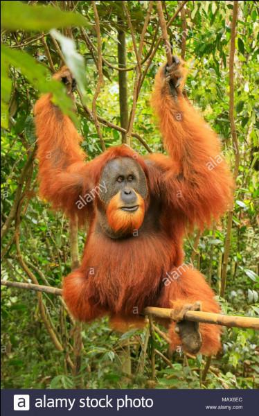 Combien reste-t-il d'orangs-outans de Sumatra dans le monde ?