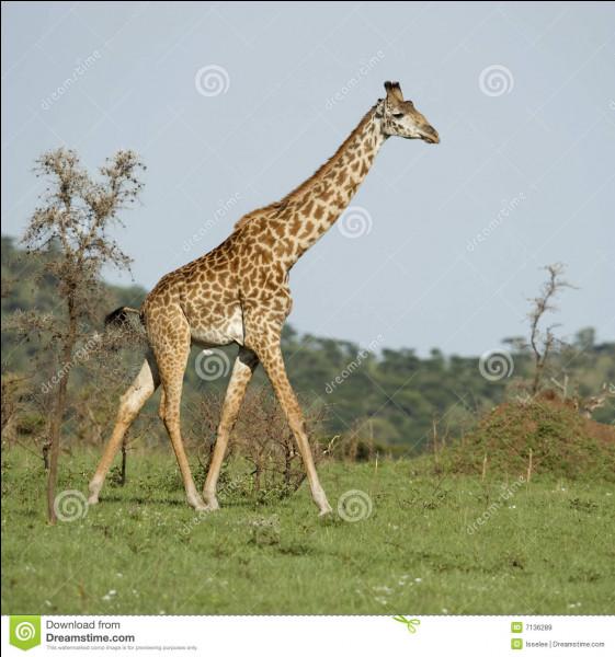 Combien de kilogrammes fait une girafe ?