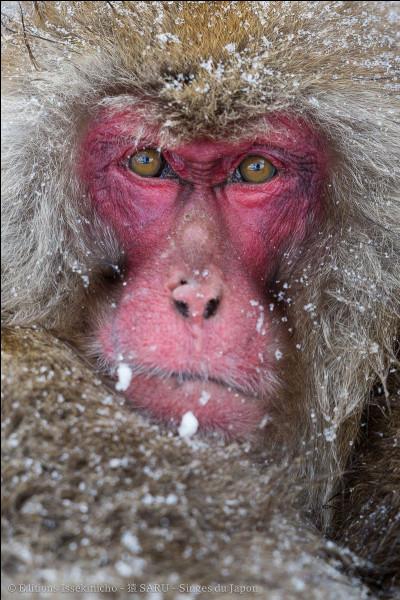 Combien d'années vit un macaque japonais ?