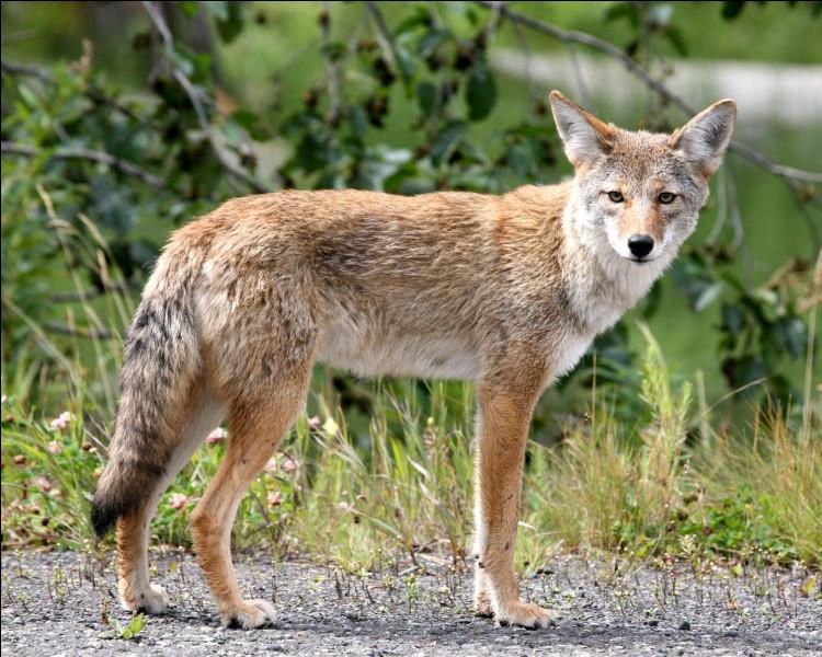 Combien de cm mesure la queue du coyote ?