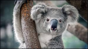 Grâce à quel arbre se nourrit le koala ?