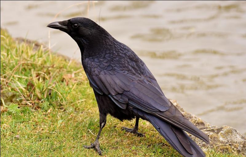 Quel est le nom scientifique du grand corbeau ?