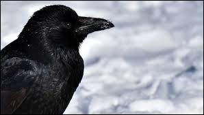 Le grand corbeau est...