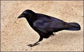 """Depuis quand les grands corbeaux sont-ils considérés comme """"maléfiques"""" ?"""